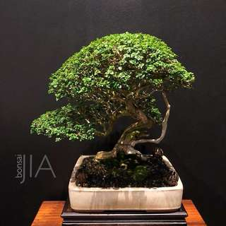 Reserved Premna Bonsai