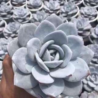 Succulents! Echeveria Laui