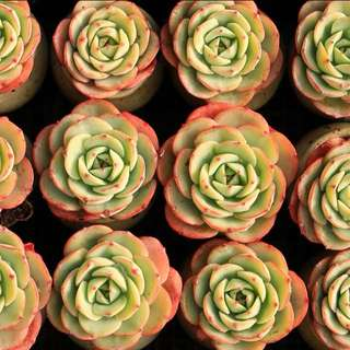 Succulents! Echeveria Atlantis