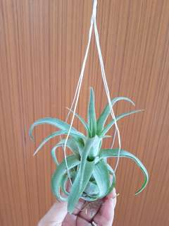 Air Plant streptophylla for sale!
