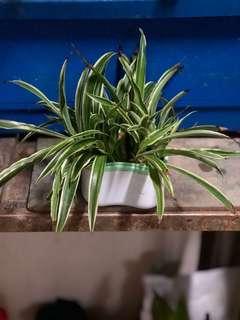 Spider air plant