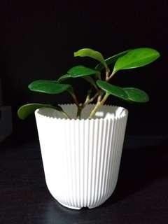 Prosperity Plant / Peperomia Obtusifolia