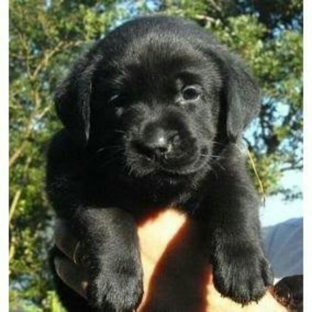 27++ Anak anjing golden retriever terbaru