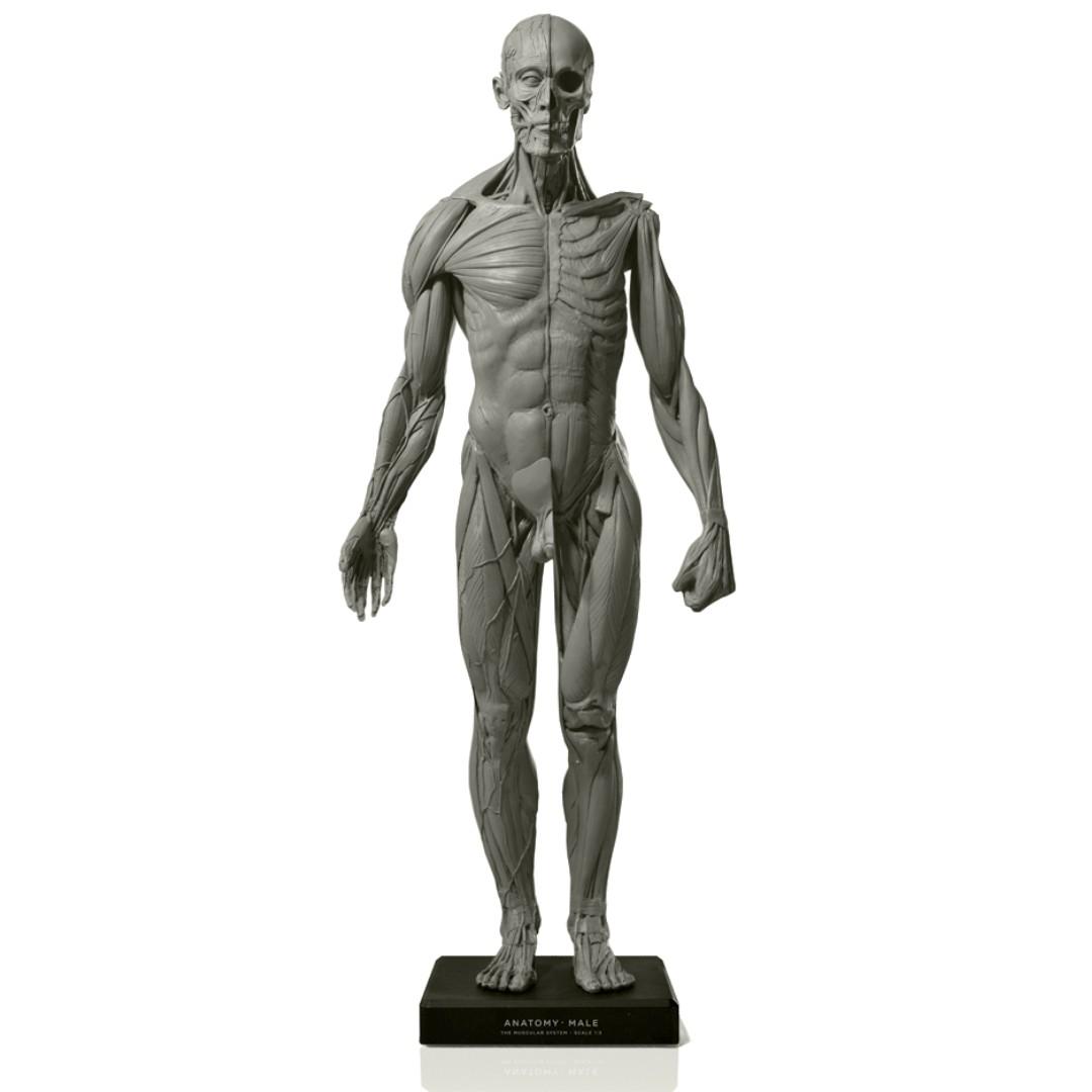 Anatomical Figure Male Version 2a Artist Model Design Craft