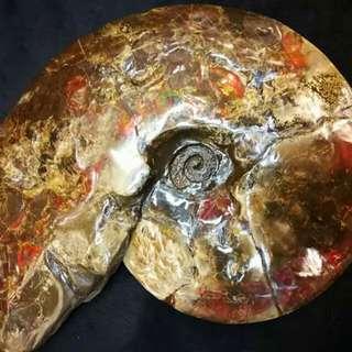 過億年的加拿大班彩化石螺(有証書)只得一隻(另有再小号班彩螺)