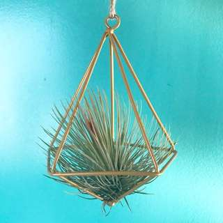 Tillandsia Airplants in Diamond Shaped Holder