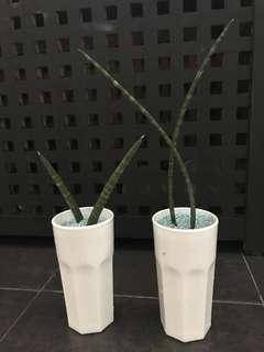 """Antelope horns"" Sansevieria, Snake Plant, Mother-in-Law's Tongue 'Moonshine' (Sansevieria trifasciata) $15 for 2"