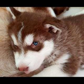 Alaskan malamute 1 month old,