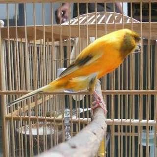Burung kenari inpor