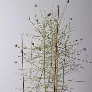 Flowering adult byblis carnivorous plant