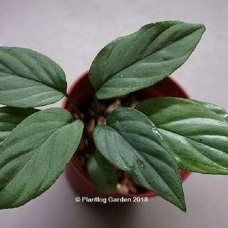 Homalomena sp. Silver Green