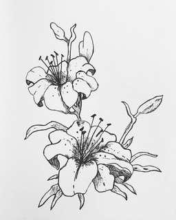 Tiger Lily Sketch