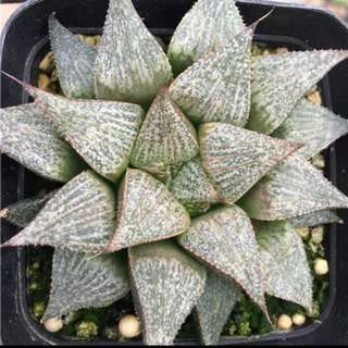 (Preorder) Haworthia Mirabilis (8+cm LARGE)