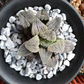 (Special selection) Haworthia Snow Pygmea 6cm