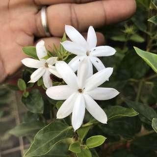 Flowering plants 💐Angel Wing Jasmine (Jasminum laurifolium) 天使翅茉莉花