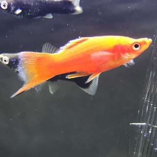 Bright Red Swordtail Male