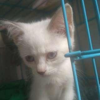 Jual anakan kucing persia himalaya mata indah merah putih