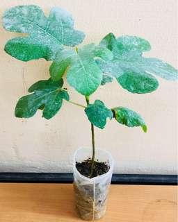 Fig Fruit Plant (Israel)