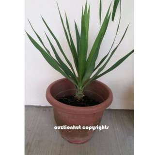 Indoor Potted Yucca Plant