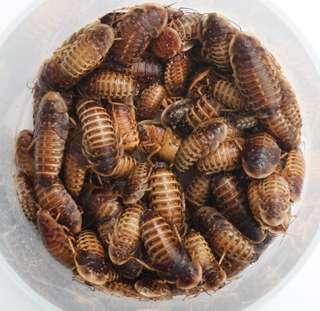 Dubia Roaches