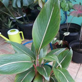 Daun pisang merah (tanaman hidup)termasuk pot.kirim by gosend