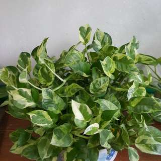 Nice pot of 'money' plant