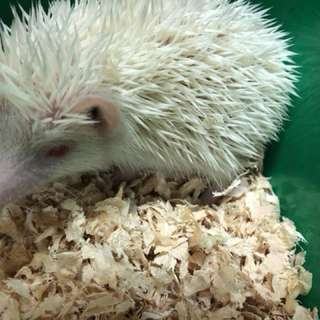 Male and female hedgehogs for adoption