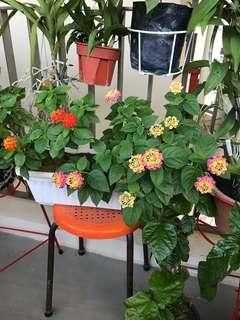 Lantana in a planter