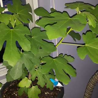 Figs plant