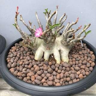 Big Adenium 大盆富贵花