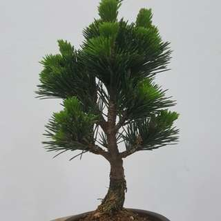 Japanese Kotobuki Pine Bonsai