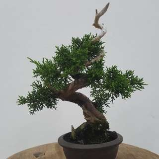 Japanese Shimpaku Bonsai
