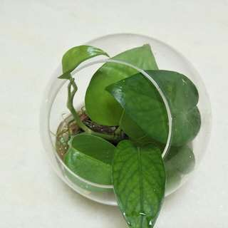 Money Plant in Glass Round Pot (12cm)