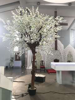 For rent/sale cherry blossom tree 2 pcs