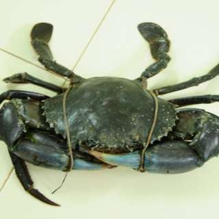 Live Mud Crab Female with Egg