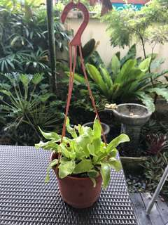Bird's nest fern in hanging pot