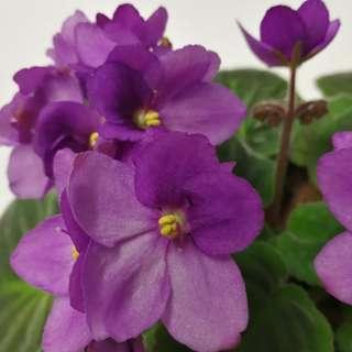 Fast Sale! African Violets