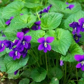 Gardening ♡ Wild Violet Flowering Seeds X 20 (From US)