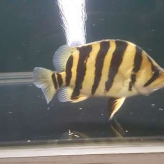 Indonesian tiger fish (IT) 8 inches,  1side 4 bar / 1side 3.5 bar