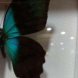 Relik Kupu Kupu Butterflies Relic ukuran 25cmx25cm