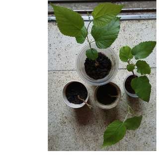 Mulberry Young Plants (Last 3 pots)