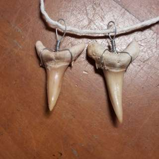 2 x Sand Tiger Shark Tooth Fossil from Morocco