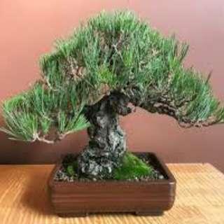 (Promo) Gardening ♡ Japanese Black Pine Bonsai Seeds X 20 (From Japan)