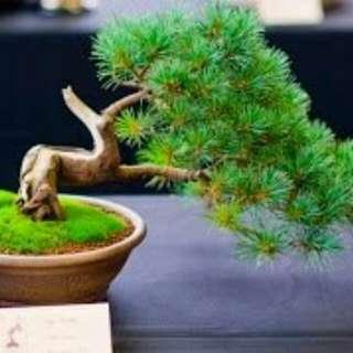 Gardening ♡ Japanese White Pine Bonsai Seeds X 10 (From Japan)