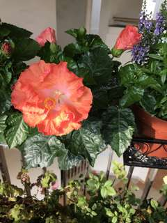 Bright orange hibiscus plant