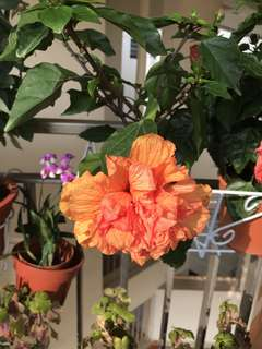 Multi petal orange hibiscus plant