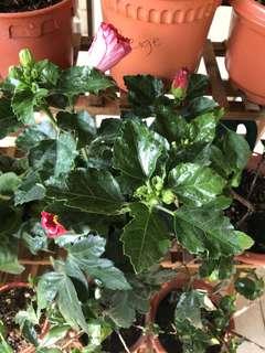 Dark red hibiscus plant