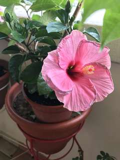 Pink hibiscus plant