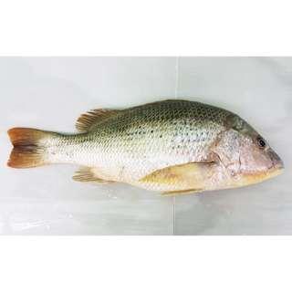 Foss Seafood Ikan Jenaha Frozen (beku) size 500gr-2kg