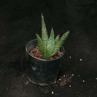 Aloe hybrid established offset